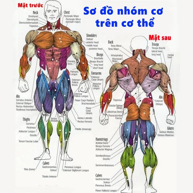 Sơ đồ các nhóm cơ trên cơ thể